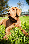Close-up of a brown Labrador Retriever dog laying on the grass, Alaska, United States of America