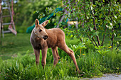 A moose calf (alces alces) stands on the grass of a residential backyard with a child's slide in the background, Alaska, United States of America