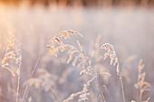 Frosty tall grasses, Kachemak Bay, Homer, Alaska, United States of America