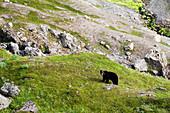 American black bear (Ursus americanus) standing on grass on a mountainside, Alaska, United States of America