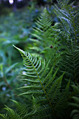 Close-up of new ferns, Alaska, United States of America