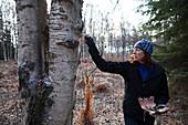 A woman peels bark off a birch tree in a forest, Kenai Peninsula, Alaska, United States of America