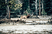 deer, Saskatchewan river crossing, Jasper National Park, Alberta, Kanada, north america