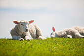 lambs, sheeps, dyke, Schleswig Holstein, Germany