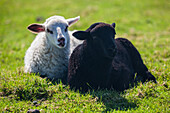 black lamb, white lamb, dyke, Schleswig Holstein, Germany