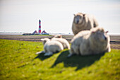 lambs, sheeps, Westerhever lighthouse, dyke, Schleswig Holstein, Germany