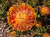 Flowers, botanical garden Kirstenbosch, Cape Town, South Africa