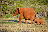 Elephant with young Baby, Addo Elephant park, Porth Elizabeth, South Africa