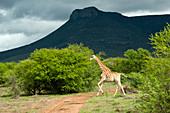 Giraffe pregnant, Samara private Game Reserve, South Africa
