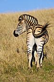 Zebra, Addo Elephant Park, Porth Elizabeth, South Africa