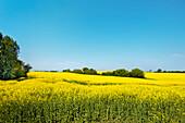 Rape field near Niendorf, Baltic coast, Schleswig-Holstein, Germany