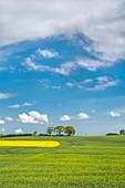 Rape field, Groemitz, Baltic coast, Schleswig-Holstein, Germany