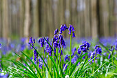 Close up of purple bluebells in bloom in the green grass of the Hallerbos forest, Halle, Belgium, Europe