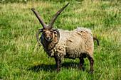 Vier-gehörnte Manx Loaghtan Schafe (Ovis Aries) im lebenden Museum Cregneash Dorf, Isle of Man, Krone Abhängigkeit des Vereinigten Königreichs, Europa