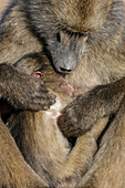 Chacma baboon (Papio ursinus) with baby, Kruger National Park, South Africa, Africa