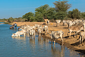 Herd of zebus drinking river water, Senegal, West Africa, Africa