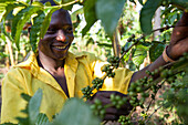 A young boy checks his coffee plant, Uganda, Africa