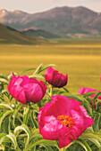 Europe,Italy,Umbria,Perugia district,Sibillini National park, Spring flowering