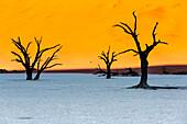 Dead acacia trees at Deadvlei, Sossusvlei Namib Desert, Namibia, Africa