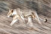 Lioness panning, Lake Nakuru, Kenya