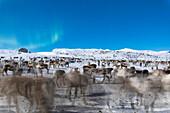 Herde von Rentieren unter Nordlichtern, Abisko, Gemeinde Kiruna, Norrbottens län, Lappland, Schweden