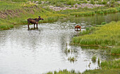 A moose and her calf graze a riverbed during in the early morning hours in Grand Teton National Park, Wyoming.