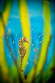 Side view of longsnout seahorse (Hippocampus reidi) underwater, Atlantic Ocean, Isla Mujeres, Yucatan Peninsula, Mexico