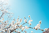 Low angle view of almond tree branch in full bloom in Morocco