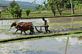 Indonesia, Bali, landscape of rice terraces on the road to Tirtagangga. In the eastern part of Bali island, farmer plowing with a wooden plow drawn by oxen in rice paddies.