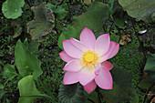 Indonesia, Bali, Flora, Lotus flowers