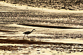 France, Normandy. Bay of Regneville-sur-Mer and Agon-Coutainville at sunset. Period of high tides. Little Egret (Egretta garzetta) looking for food at low tide.