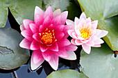 France, Paris. Val de Marne. Vincennes. Parc Floral de Vincennes. The Aquatic Garden. Closeup of Cherokee lilies.