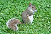Canada, Province of Quebec. Montreal. Plateau Mont Royal district. La Fontaine public garden. A squirrel