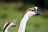 France, Burgundy, Yonne. Around Saint Fargeau. Close up of a swan goose.