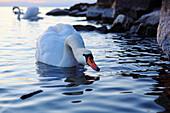Switzerland, Mute swan on the Lake Geneva
