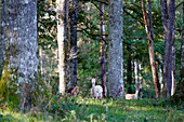 France, Burgundy, Yonne. Area of Saint Fargeau and Boutissaint. Fawns in the undergrowth.