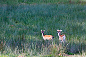 France, Burgundy, Yonne. Area of Saint Fargeau and Boutissaint. Young stags (fawn on the left and daguet on the right) in a meadow.
