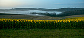 France, Dordogne, misty morning on a sunflower field in Bourdeilles
