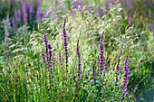 France. Hautes Alpes. Field of flowers in the Champsaur (fragrant orchid)