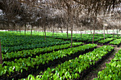 Small cocoa trees at a cocoa nursery in Ghana, West Africa, Africa