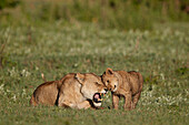 Lion ,Panthera leo, cub rubbing against its mother, Ngorongoro Crater, Tanzania, East Africa, Africa
