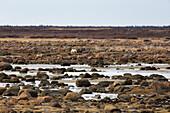 Alert polar bear ,Ursus maritimus, on the rocky, sub-arctic shoreline of the Hudson Bay north of Churchill in Manitoba, Canada, North America