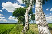 Birch trees at field, Bentstreek, Friedeburg, Wittmund, Ostfriesland, Lower Saxony, Germany
