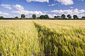 Rye field under blue sky, Leerhafe, Wittmund, Ostfriesland, Lower Saxony, Germany