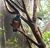 Superb Starling, Lamprotornis superbus