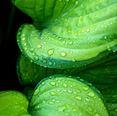 Hosta with Morning Dew