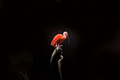 Scarlet Ibis, Eudocimus ruber, Against Black Background