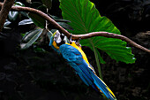 Blue and Gold Macaw, Ara Ararauna, on Branch