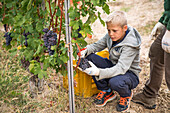 Boy Picking Grapes in Vineyard