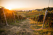 Vineyard at Sunset, Monforte d'Alba, Piedmont, Italy